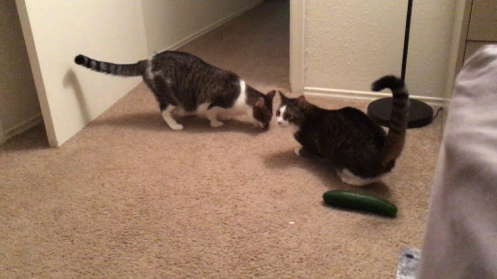 Hilarious Cat Pranks    FailArmy